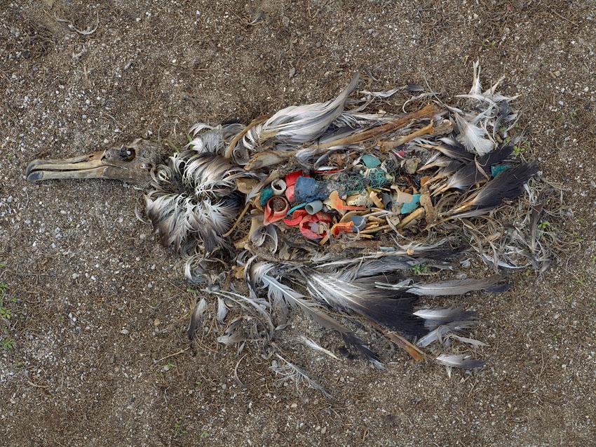 お腹にプラスチックが溜まっているアホウドリの死骸