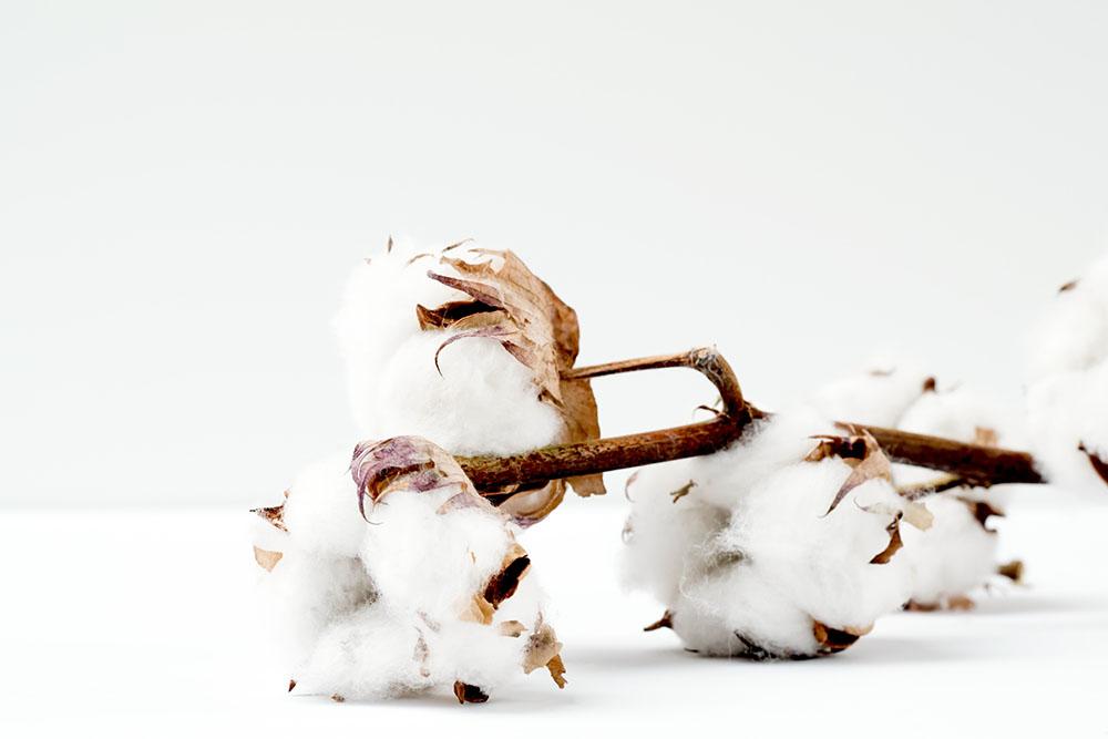 オーガニックコットンの綿と枝